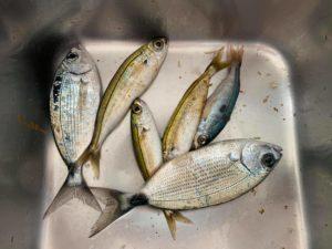 караси и сардины рыбалка улов
