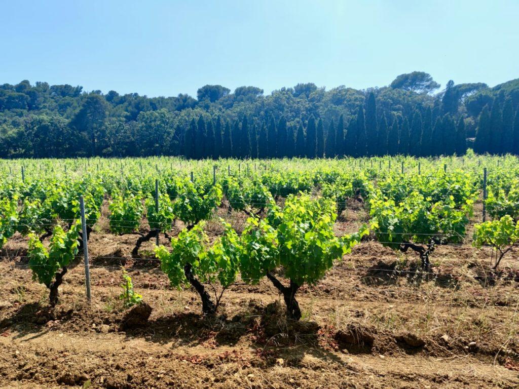 виноградник прованс malherbe