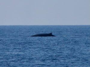 кит финвал корсика